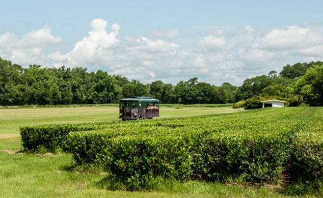 bgelow tea charleston tea plantation first flush