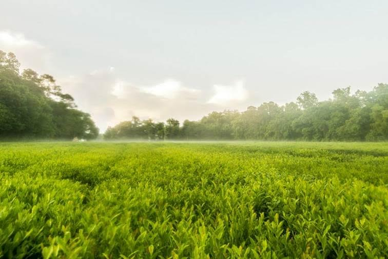 bigelow tea charleston tea plantation