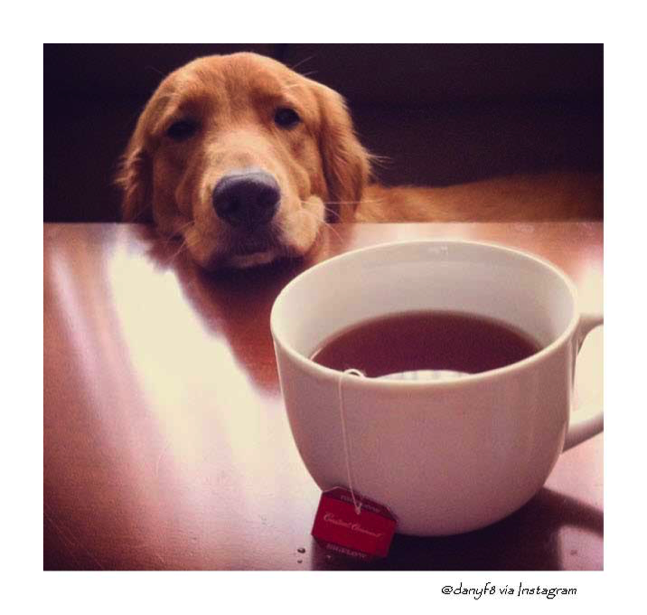 bigelow tea puppy